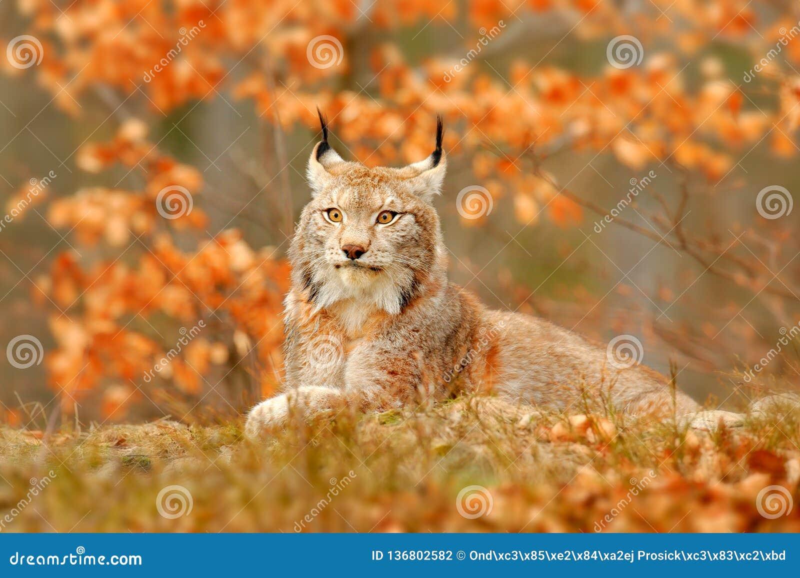 Ryś w pomarańczowej jesieni przyrody lasowej scenie od natury Śliczny futerkowy Eurazjatycki ryś, zwierzę w siedlisku Dziki kot o