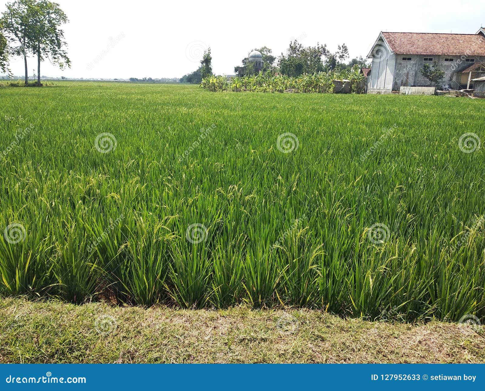 Ryżowi pola