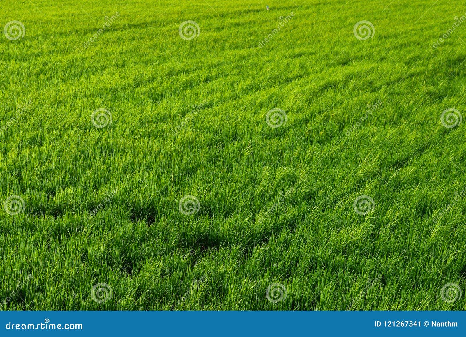 Ryżowy greenfield tło