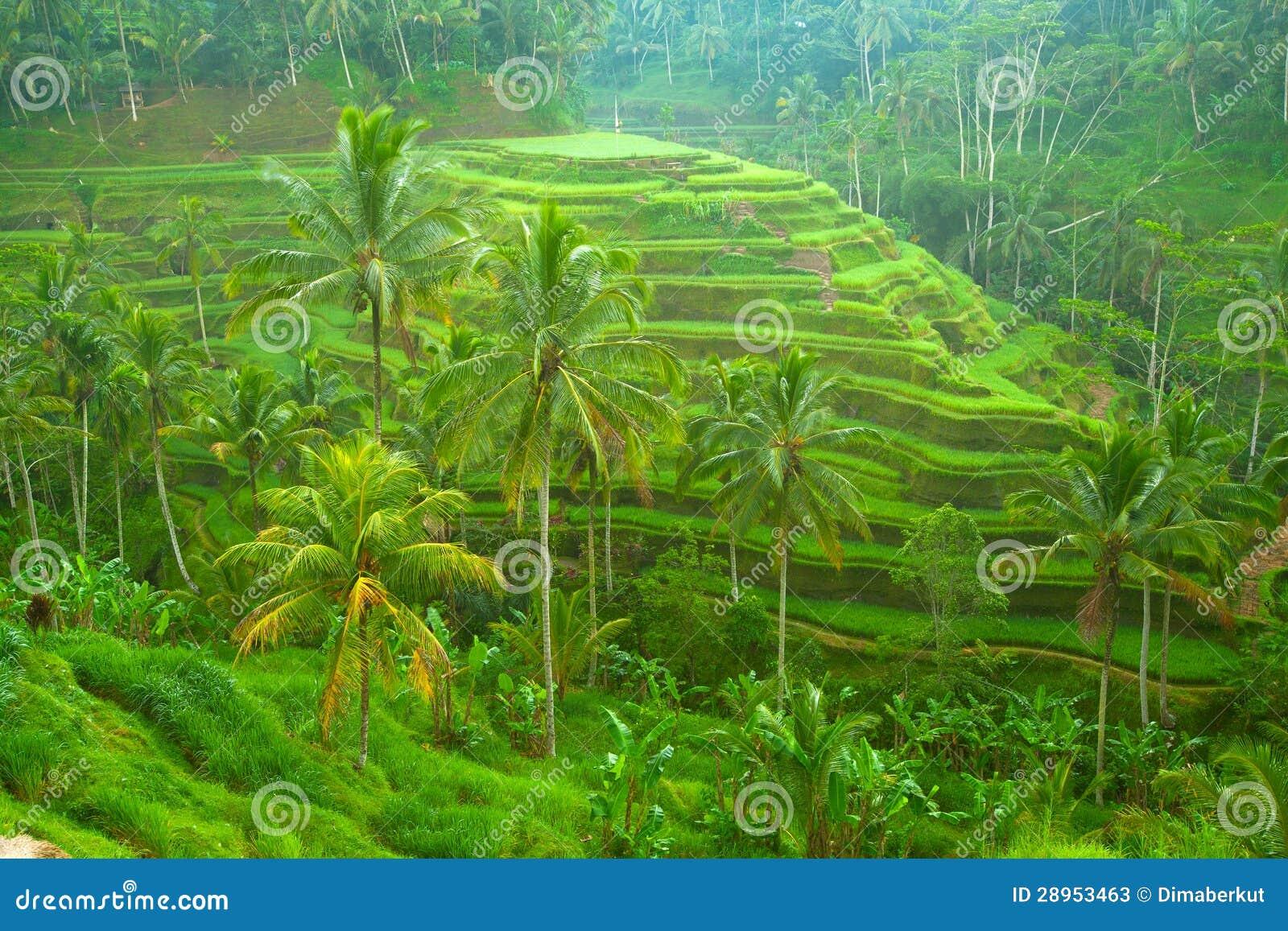 Ryżowy tarrace w górach