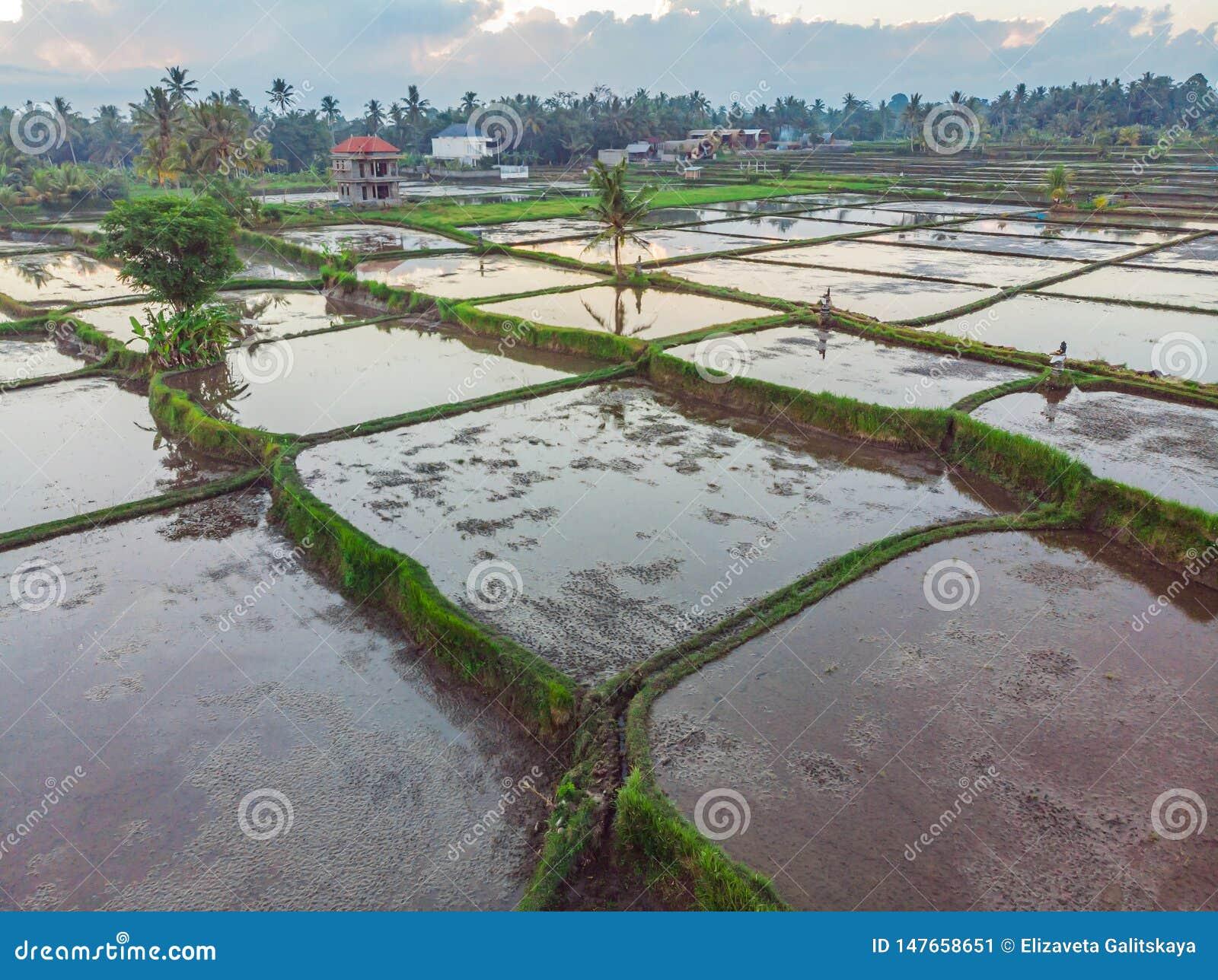 Ry?owi pola zalewaj? z wod? Zalewaj?cy ry?owi irlandczycy Agronomic metody rosn?? ry? w polach wylew