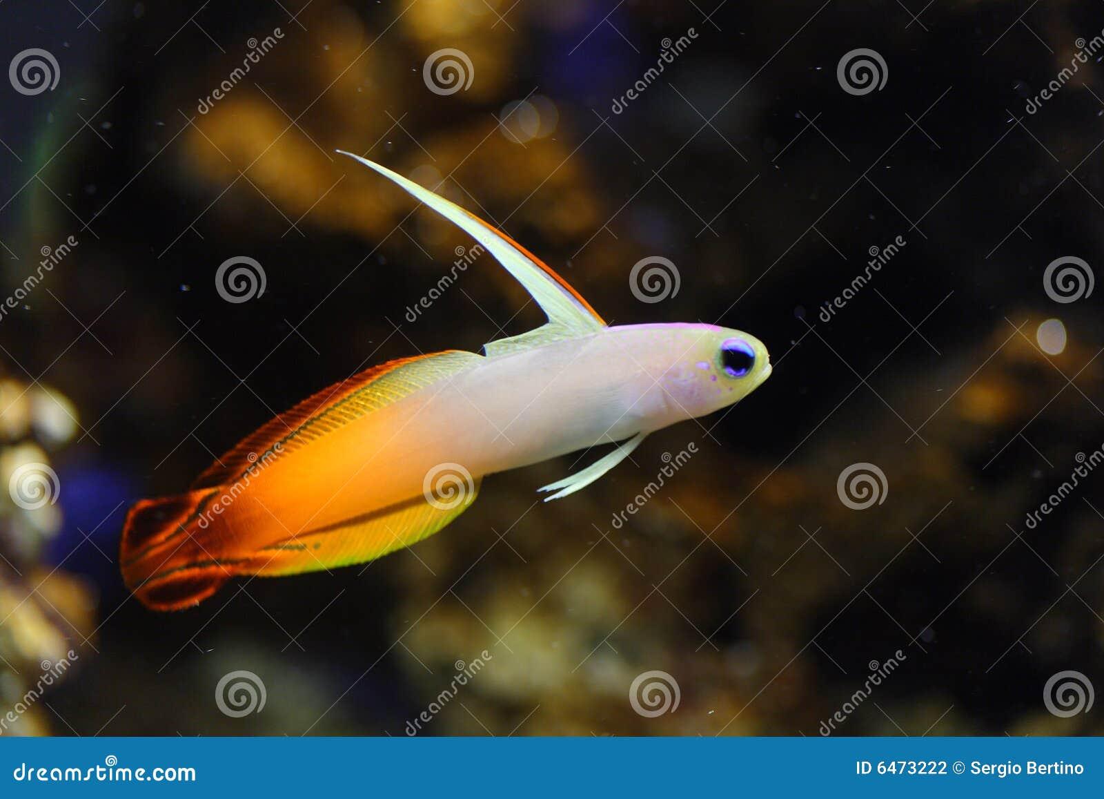 Ryba goby pożarowym