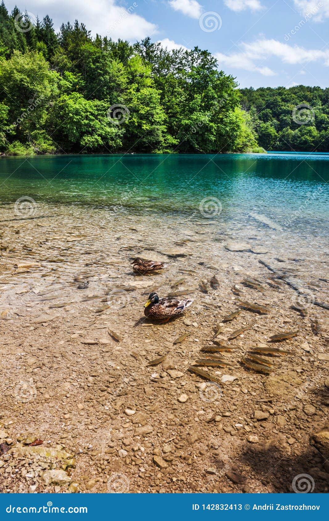 Ryba i dzika kaczka pływamy w jeziorze w drewnach Plitvice, park narodowy, Chorwacja