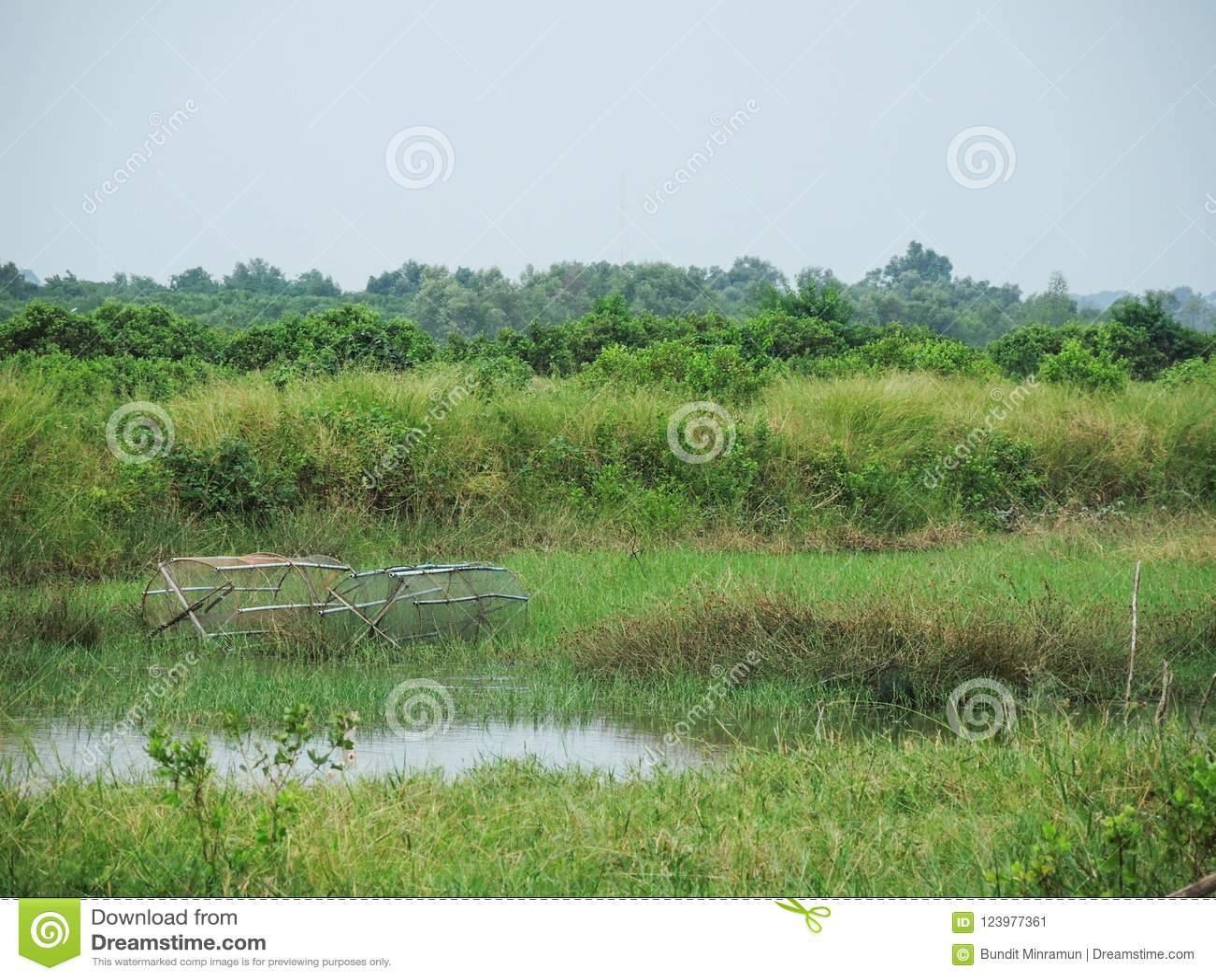 Ryba oklepowie w zielonej trawy polu blisko stawu na mokrej pogodzie przyprawiają w wsi Nakhon Si Thammarat prowincja, Tajlandia