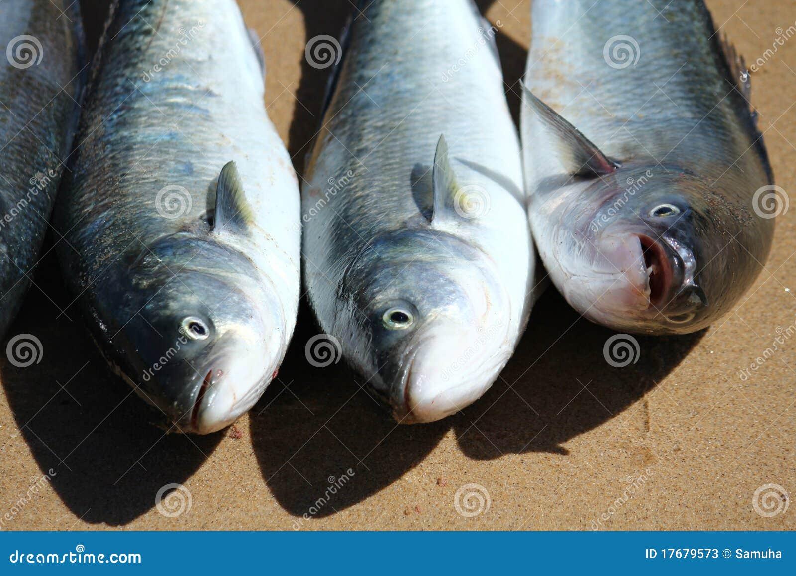 Rybi łosoś