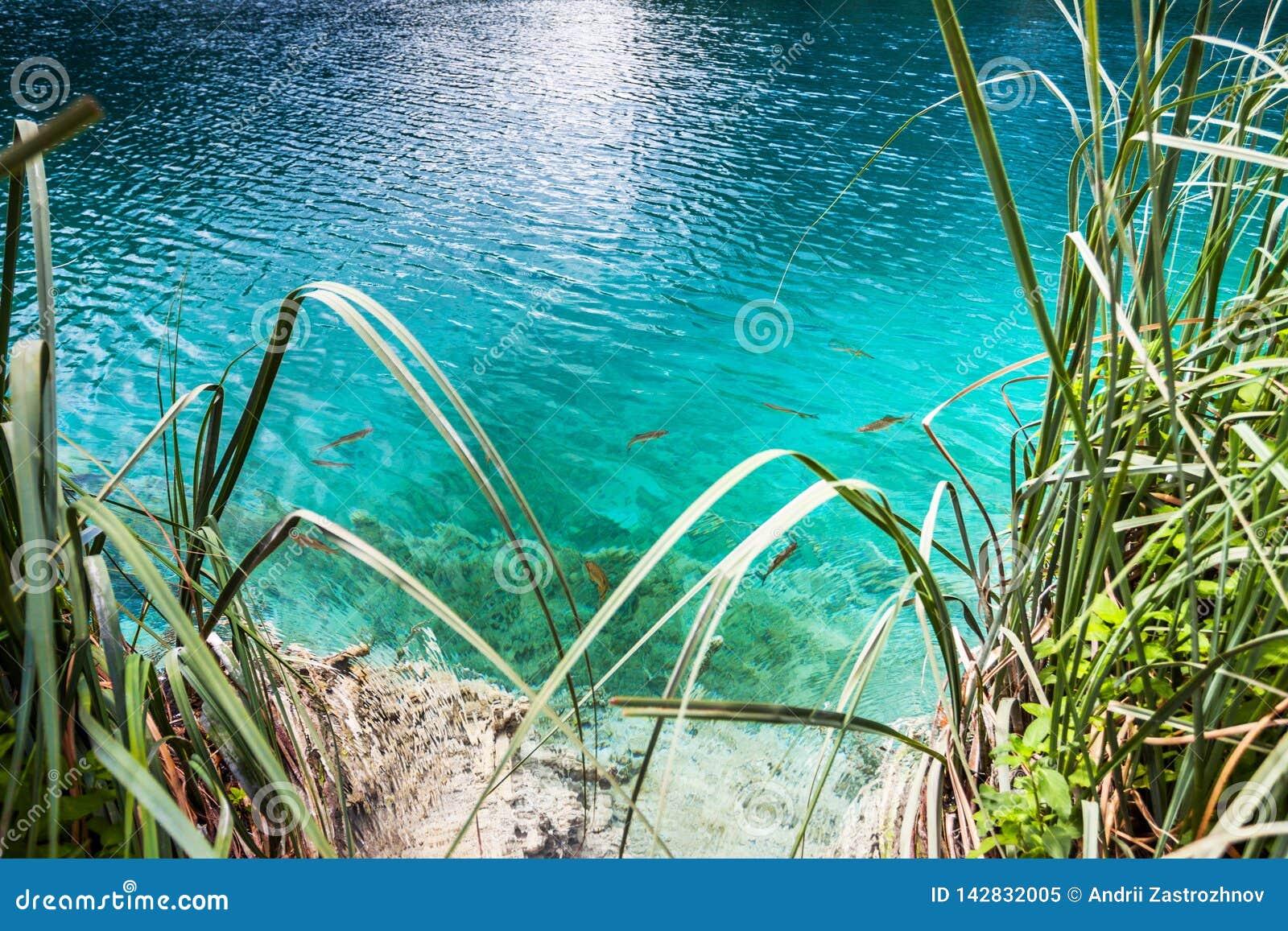 Rybi pływanie w jasnej turkus wodzie przy brzeg jezioro Plitvice, park narodowy, Chorwacja