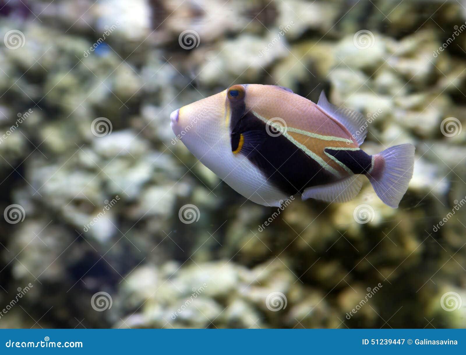 Rybi Picasso Triggerfish prostokątny