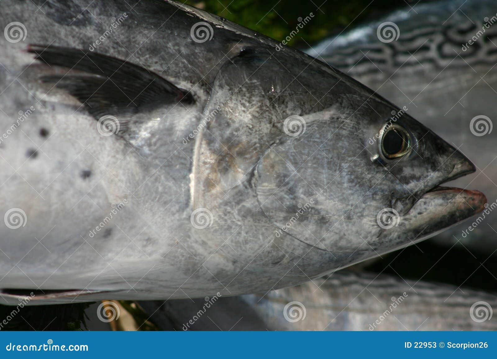 Ryby tuńczyka