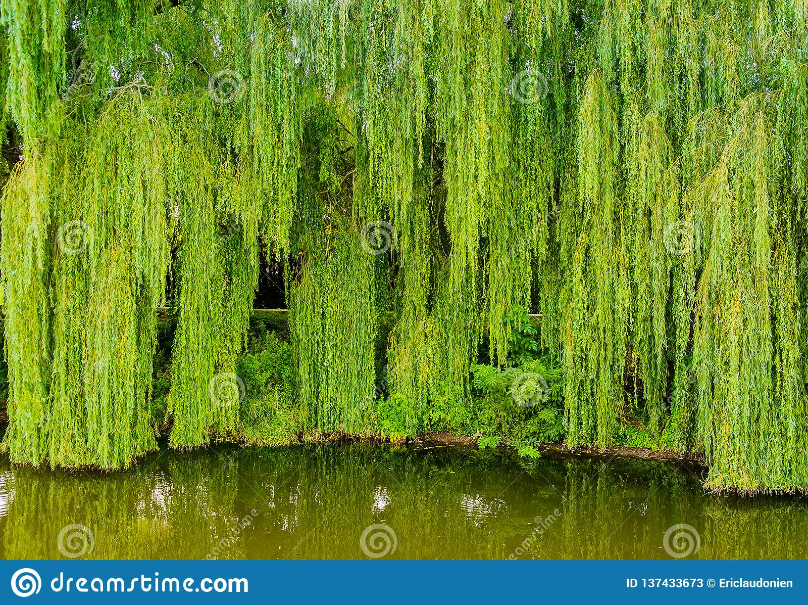 Rye Weeping Willow