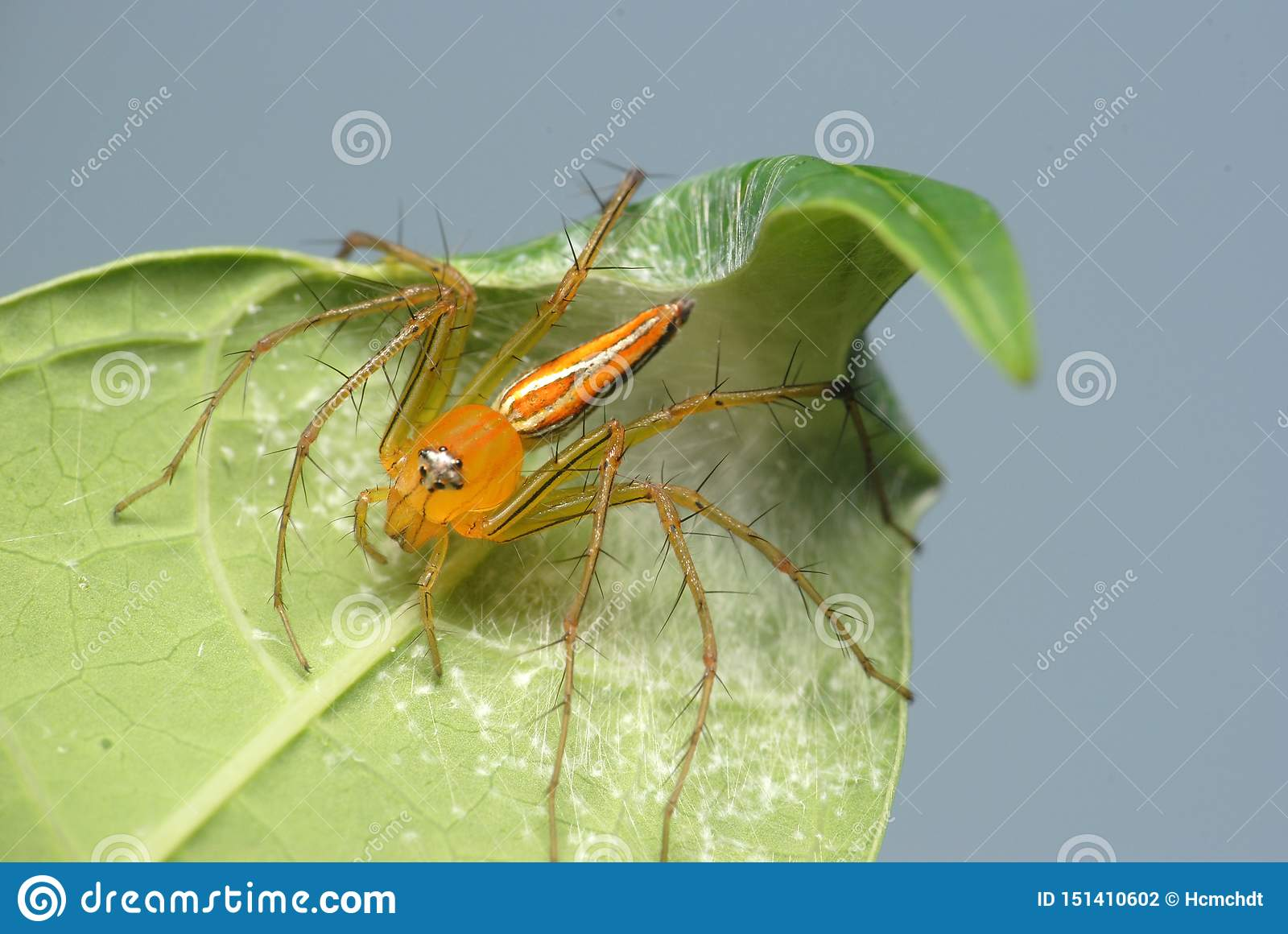 Rysia pająk przy zielonym liściem na zamazanym tle