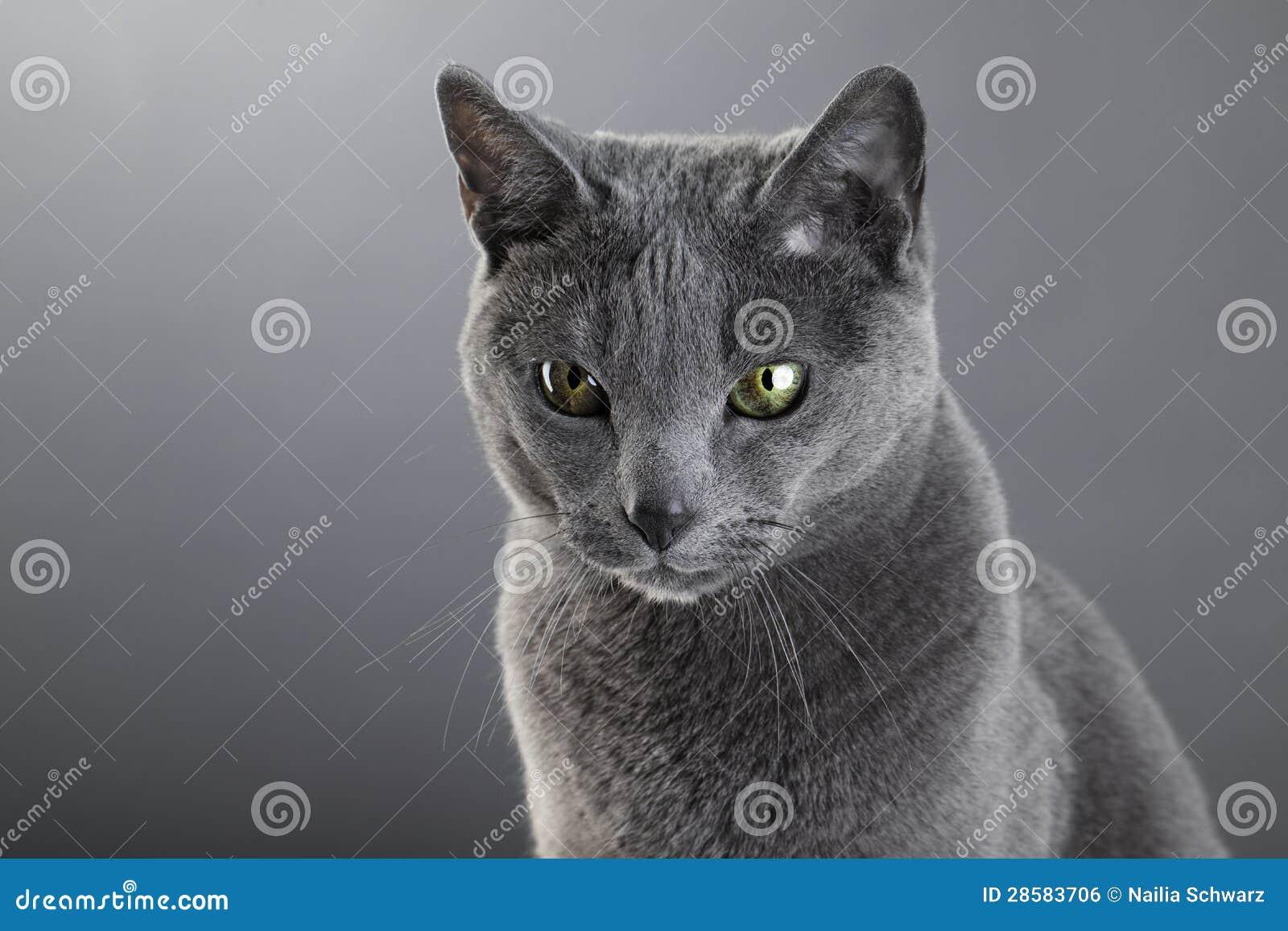Rysk blåttkatt
