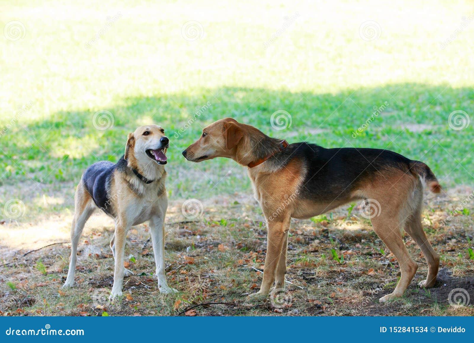 Rysk hund för hundavel