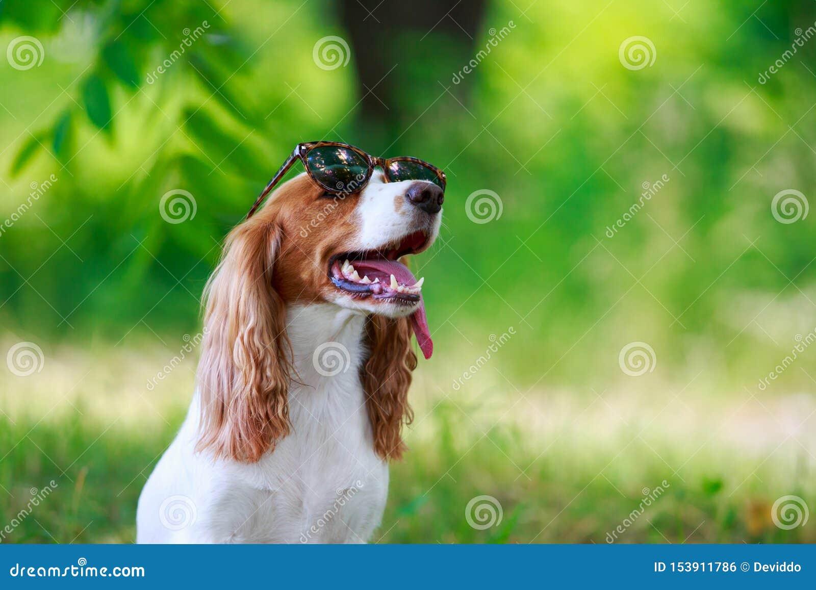 Rysk jaga spaniel för hundavel