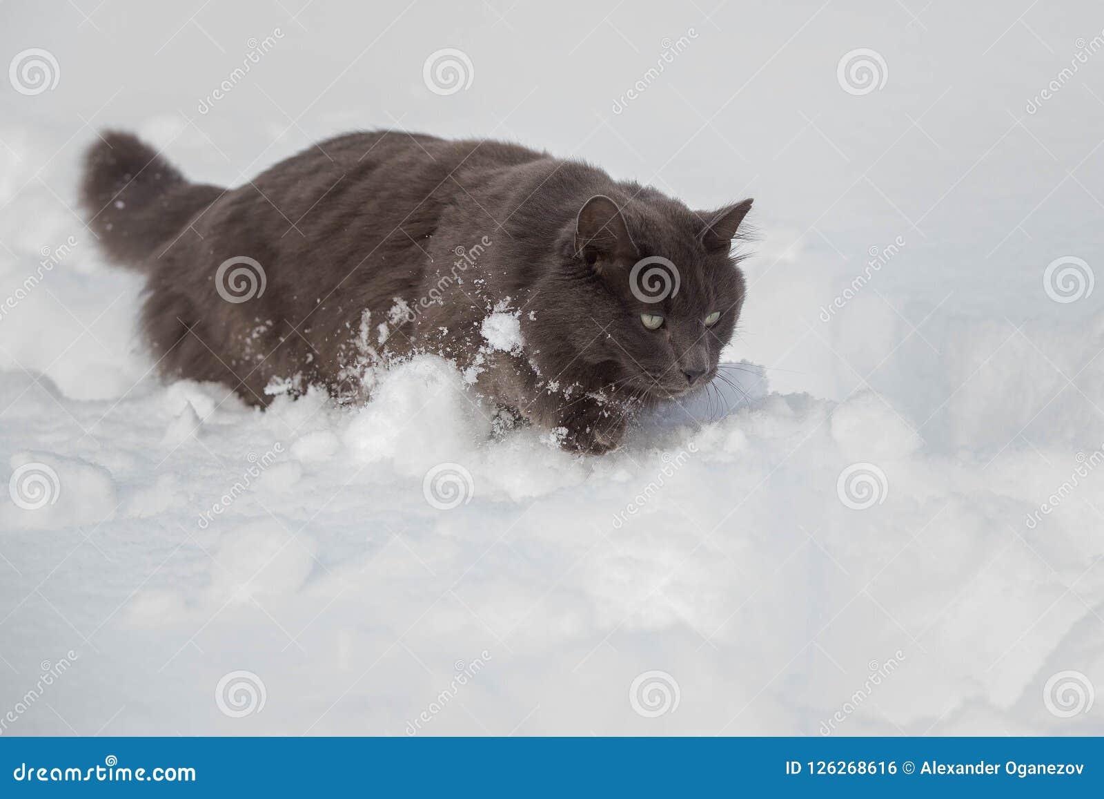 Rysk katt för blåa grå färger som går till och med djup snö
