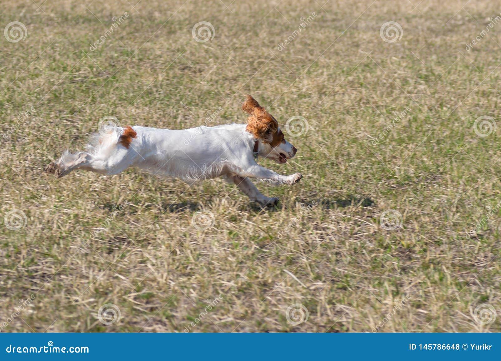 Rysk spanielhund, i att flyga fas över vårfält