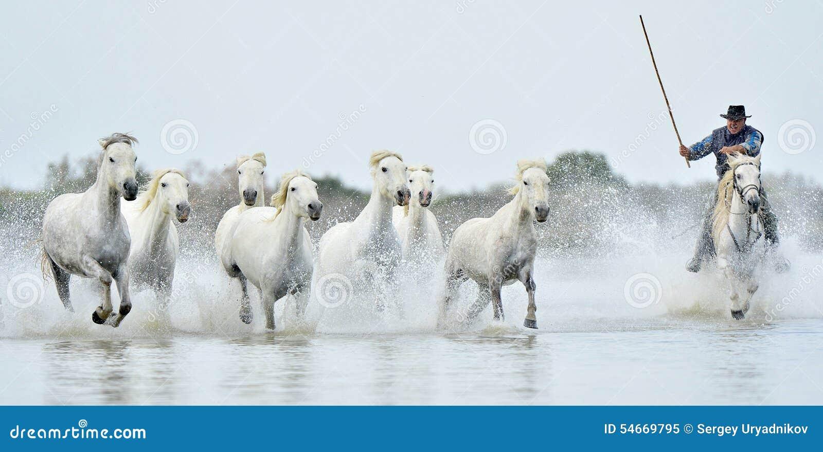 Ryttare och flock av vita Camargue hästar som kör till och med vatten