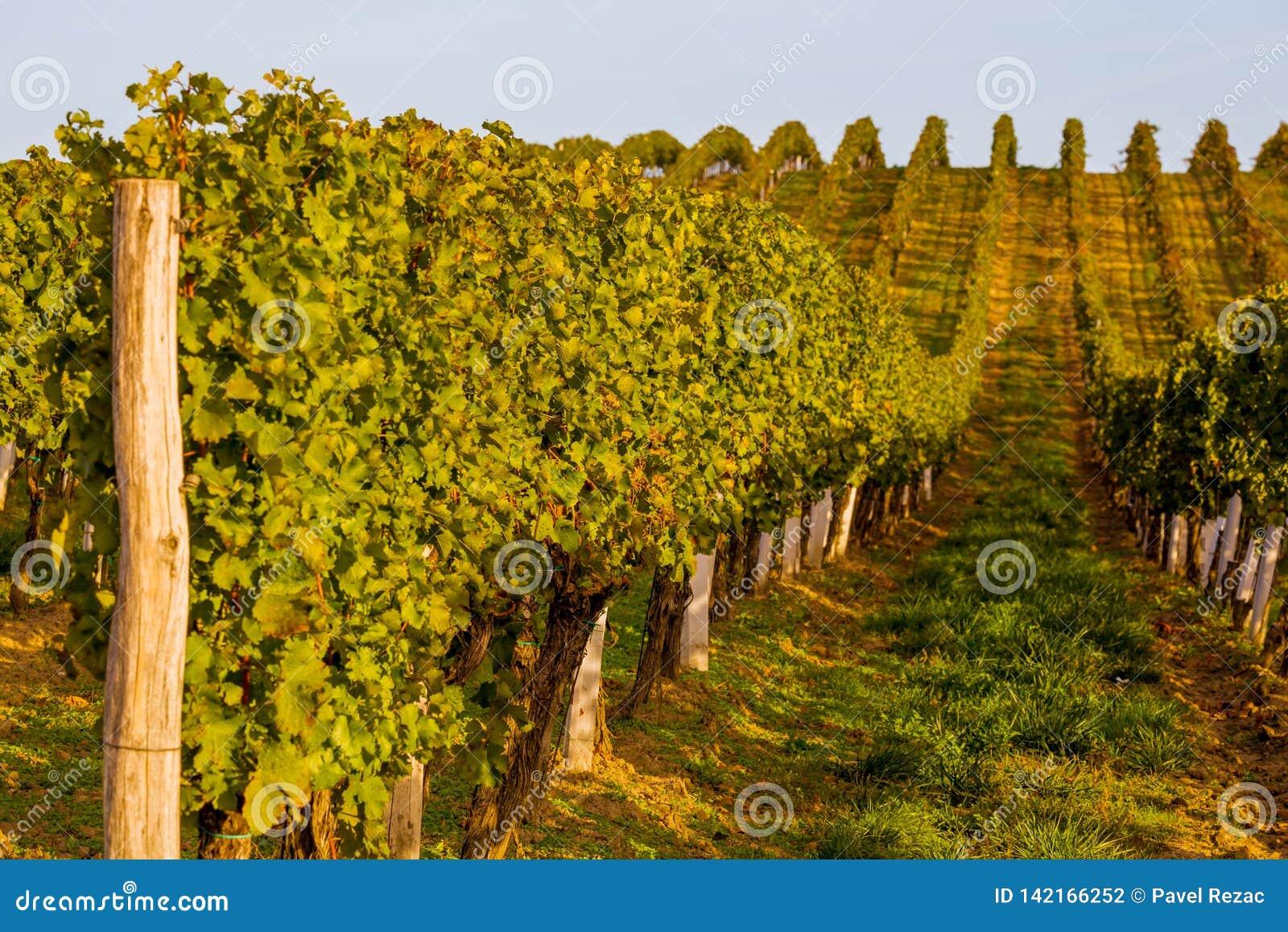 Rzędy winogrady na wzgórzu