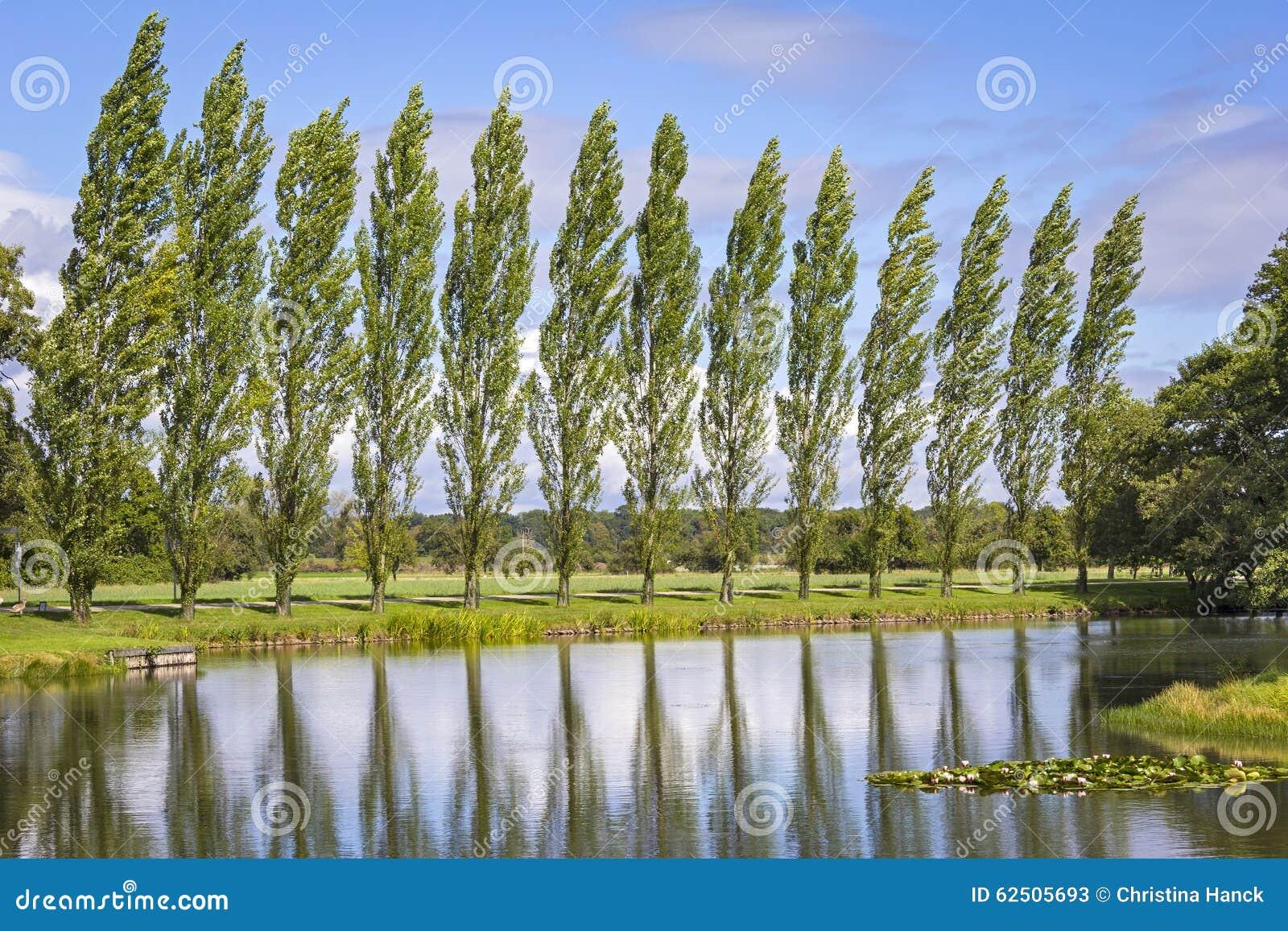 Rząd Topolowi drzewa