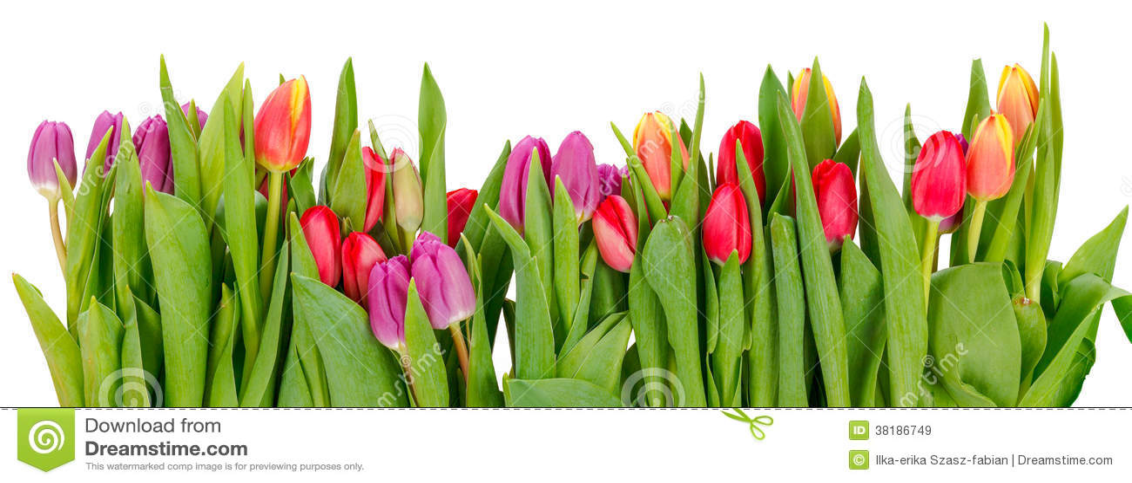 Rząd tulipany