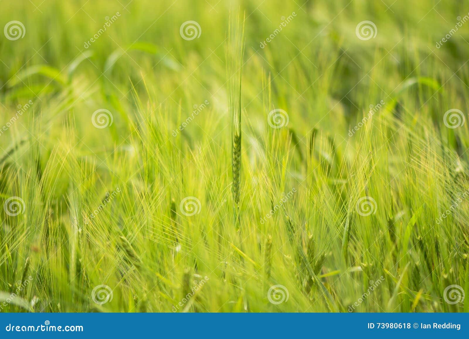 Rzędu jęczmienny dorośnięcie w polu (Hordeum vulgare)