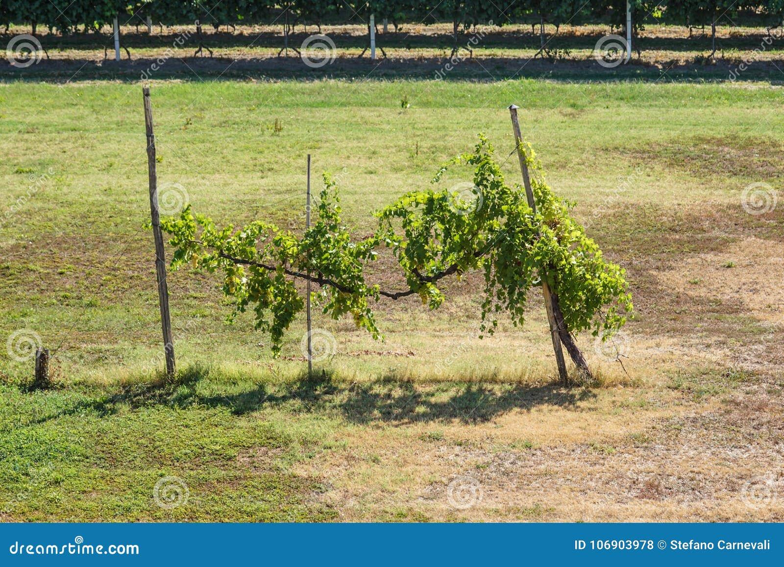 Rzędy jesienni winogrady z pojedynczą rośliną
