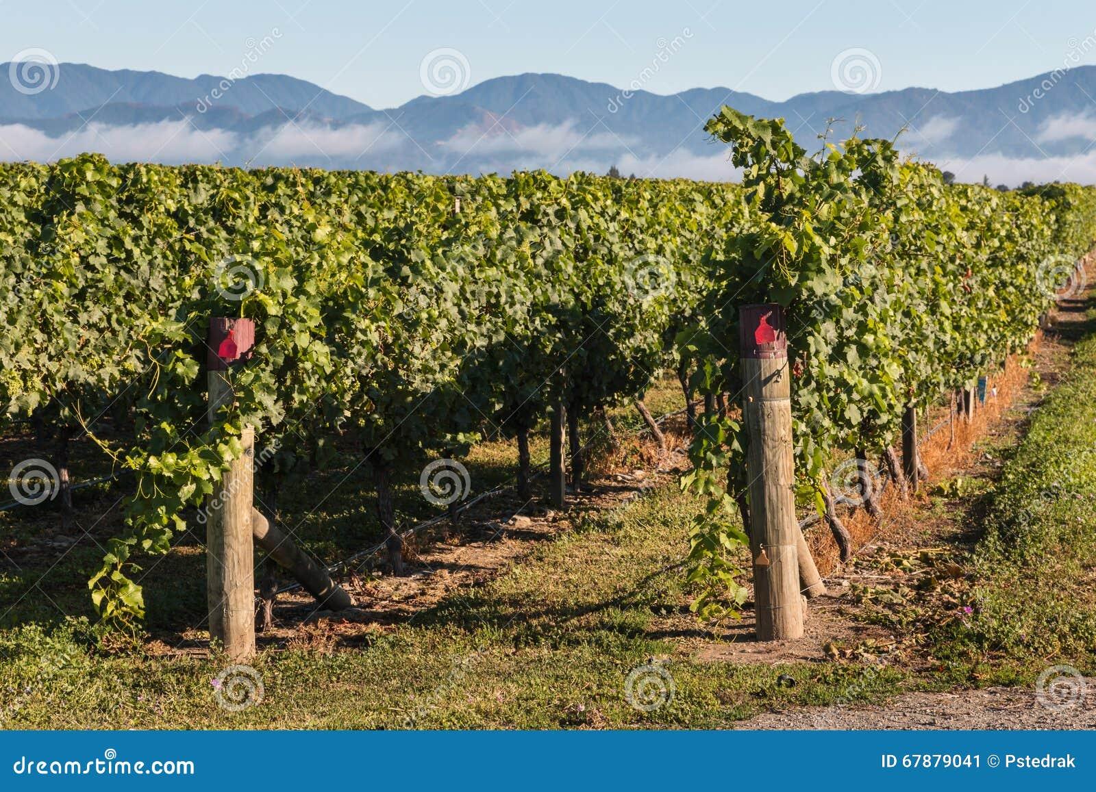 Rzędy winorośl w winnicy