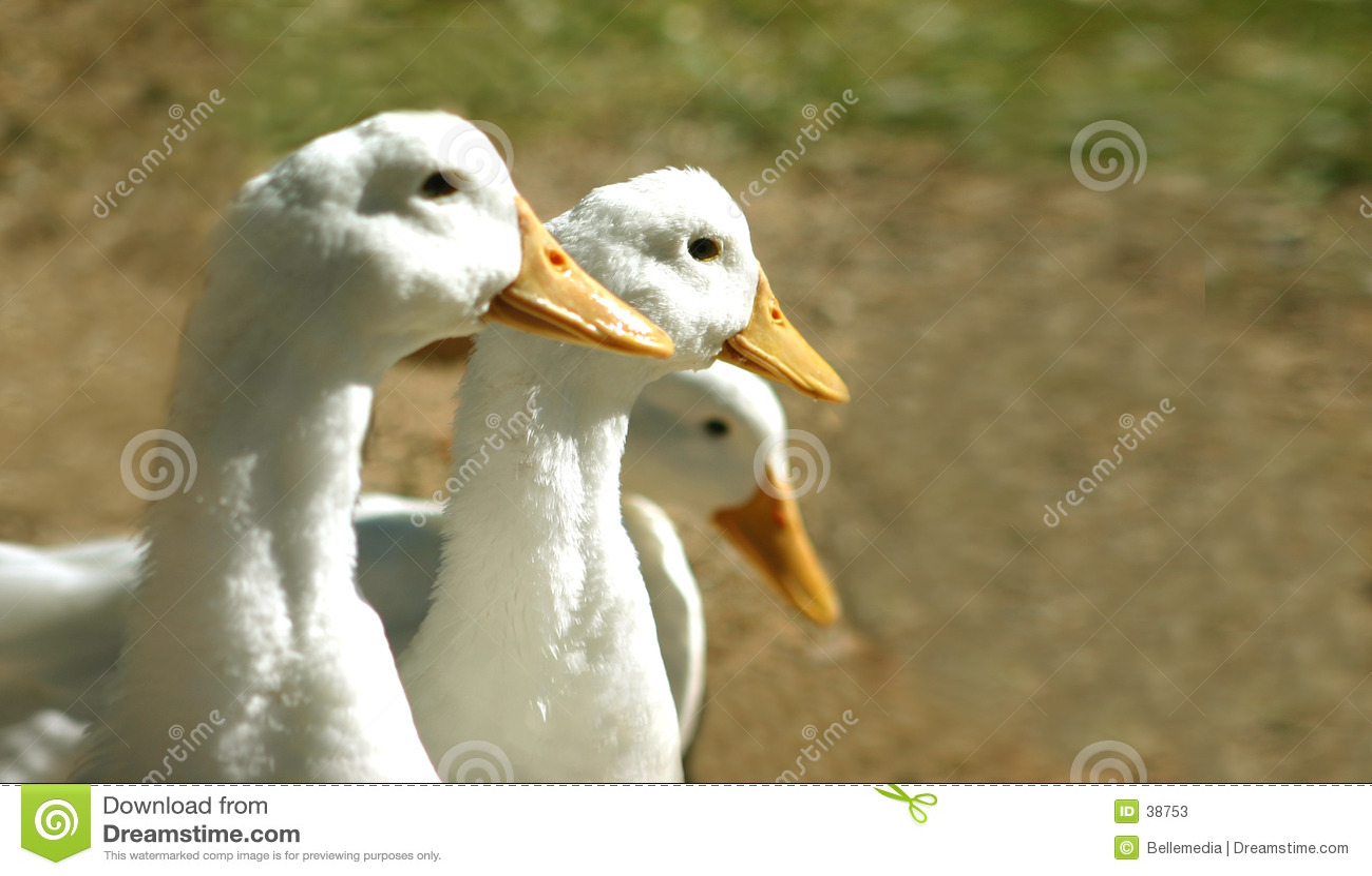 Download Rząd obraz stock. Obraz złożonej z ptactwa, farm, drób, ptak - 38753