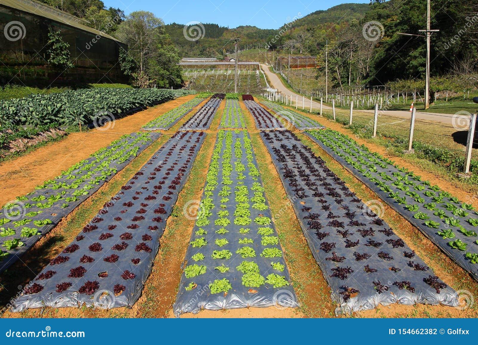 Rz?dy m?ode jarzynowe rozsady Luttuce gospodarstwo rolne w Thailand