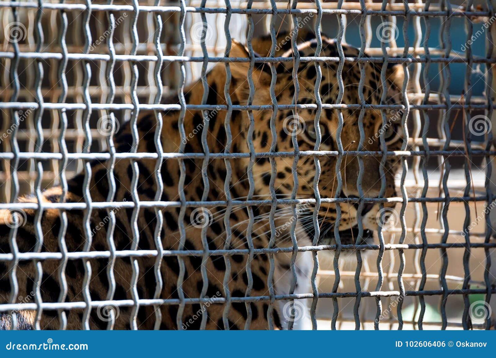 Rzadki Amur lampart lub Panthera pardus orientalis