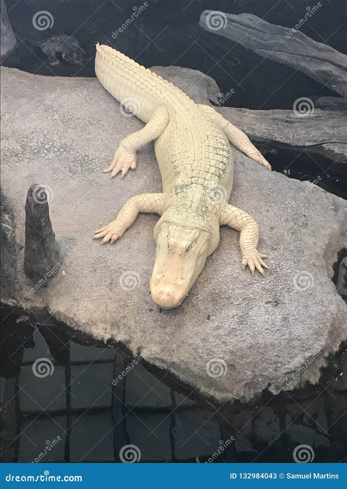 Rzadki biały krokodyl