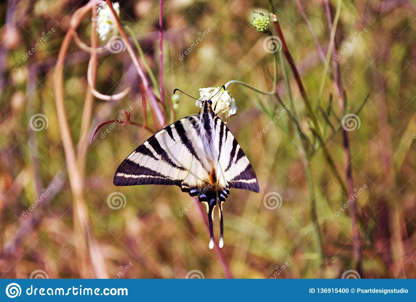 Rzadki swallowtail Iphiclides podalirius obsiadanie na białym kwiacie, żółta trawa