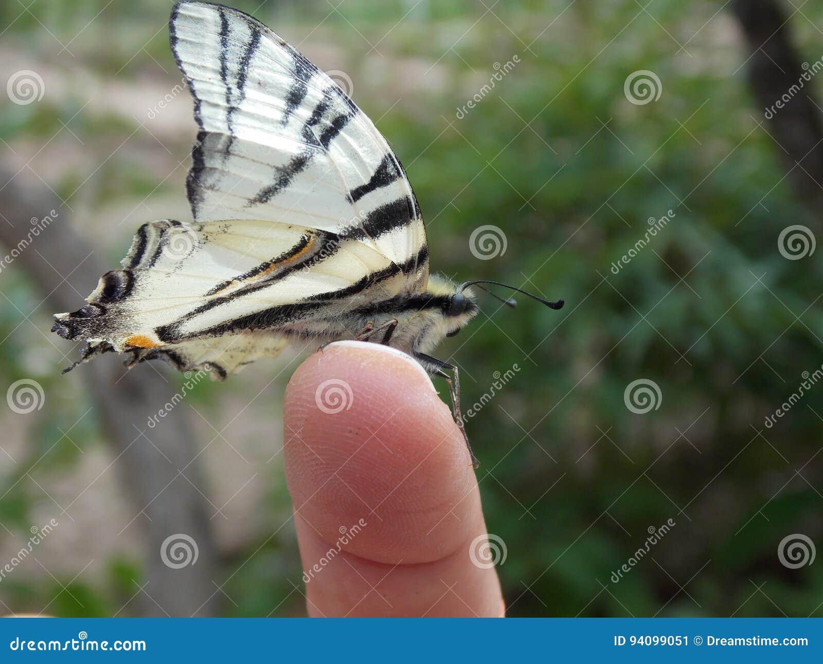 Rzadki swallowtail, podalirius ² Ð ¾ Ñ  Ñ 'Ð ¾ Ð ½ Ð ¾ Ñ  ÐΜÑ † Ð ¿ Ð ¾/Iphiclides/ХРРаР ириР¹
