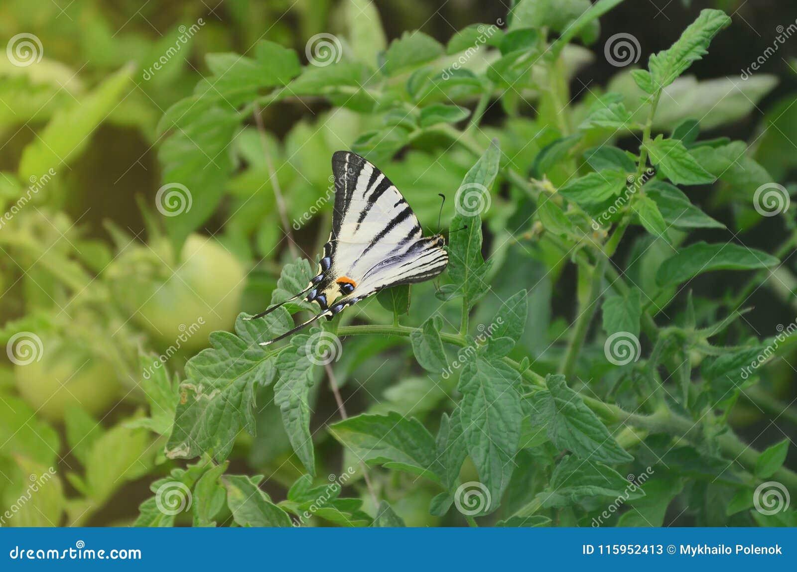Rzadkiego swallowtail Iphiclides podalirius rzadki europejski motyl siedzi na krzakach kwitnący tomat