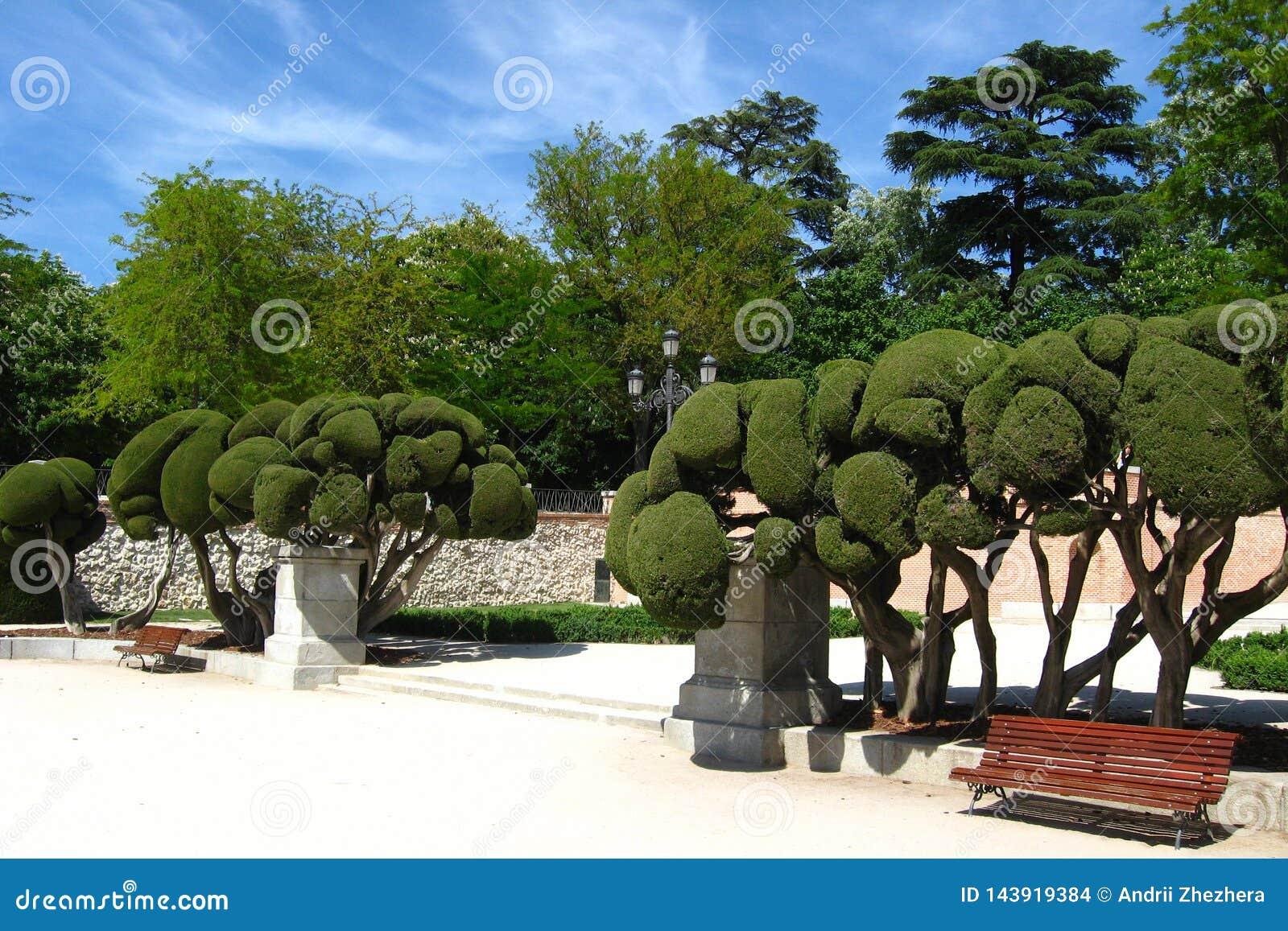 Rzeźbeni cyprysowi drzewa w Buen Retiro jawnym parku, Madryt, Hiszpania