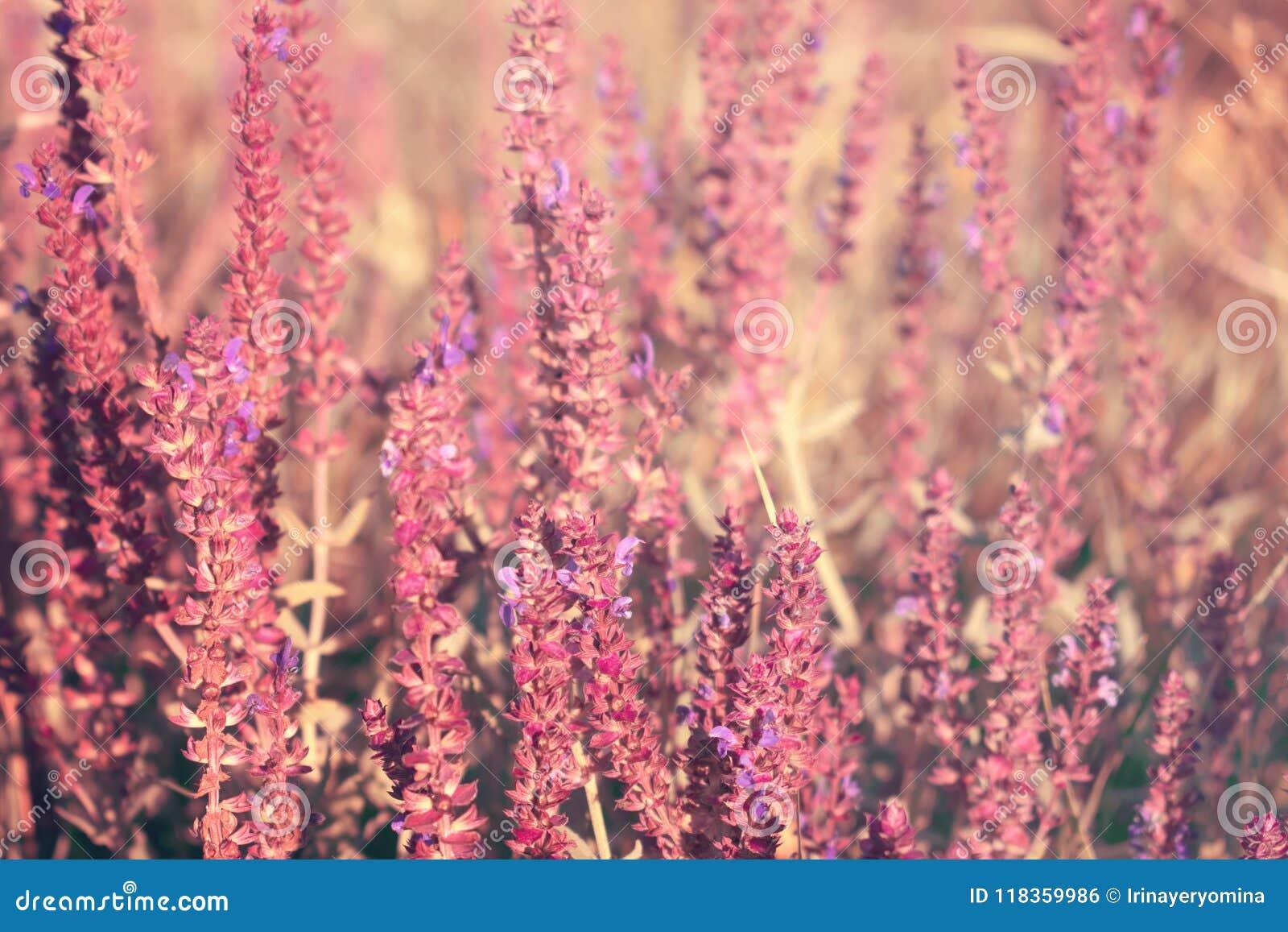 Sábio de florescência do jardim (sábio comum, sábio culinário), offici de Salvia