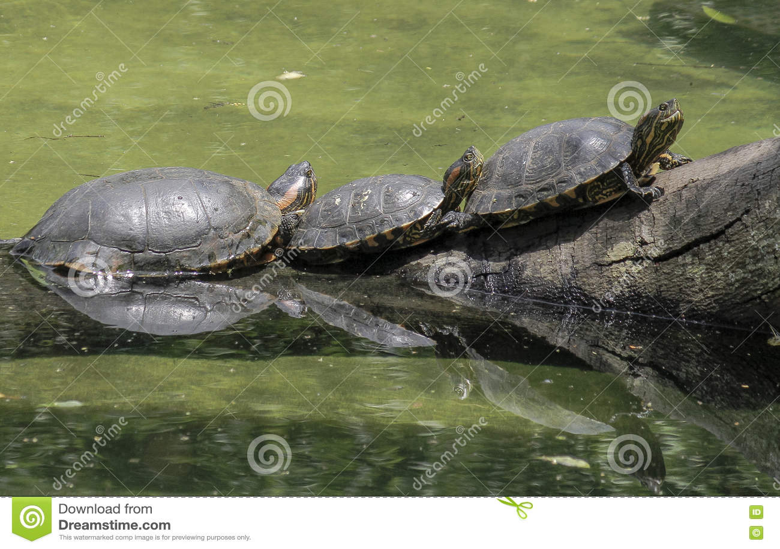 São Paulo, Brazilië, drie schildpadden op login de rivier
