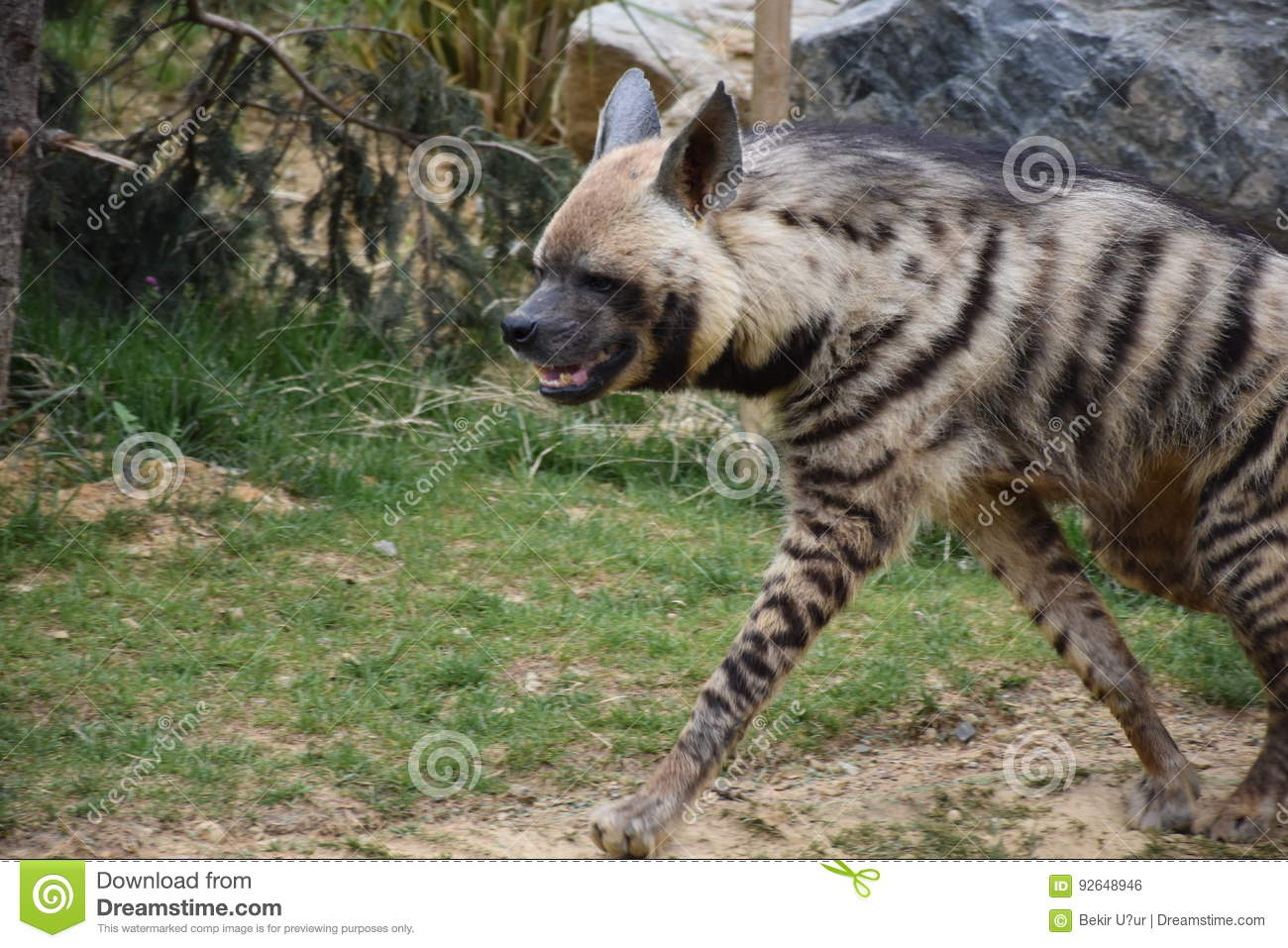Sırtlan Stock Photo Image Of Mutlu Zebra Grizzlybear 92648946