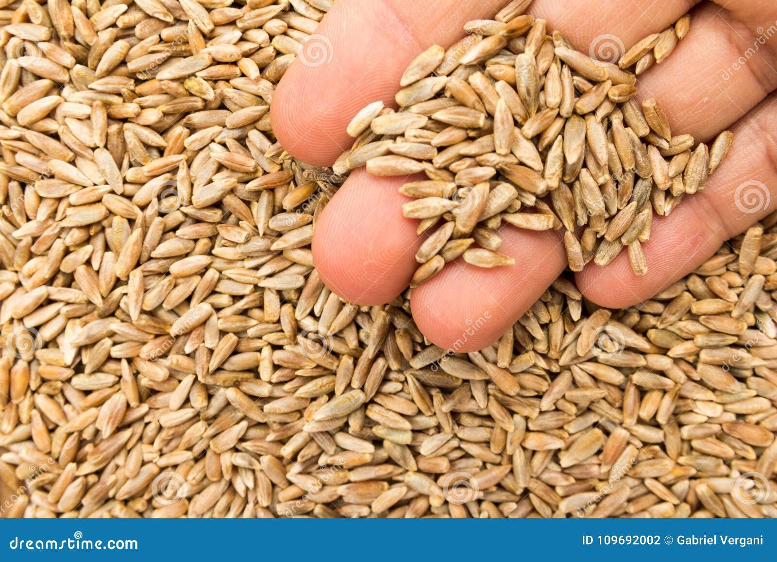 Sädes- korn för råg Person med korn i hand Makro Hel mat