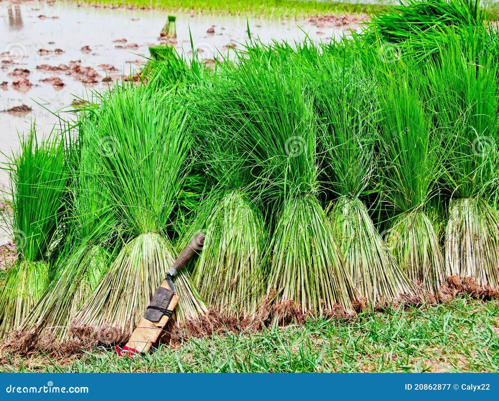 S mling reis ernte stockbild bild von bali grow hintergrund 20862877 - Como se planta el bambu ...