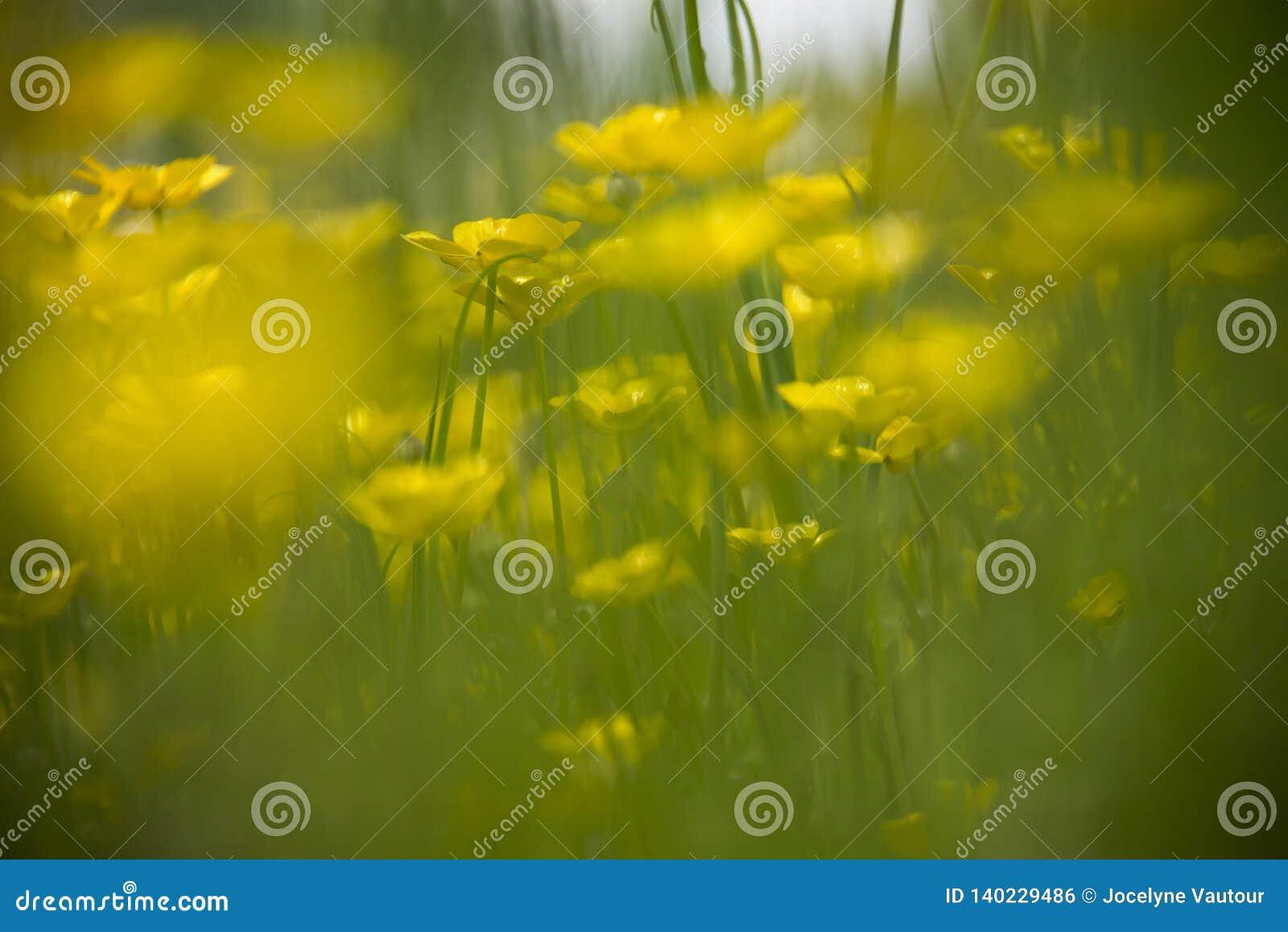 Sätta in av gula buttercupblommor Oskarpt högväxt grönt gräs