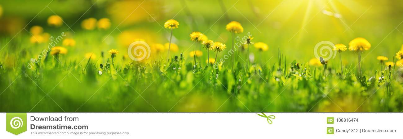 Sätta in med maskrosor Closeup av gula vårblommor