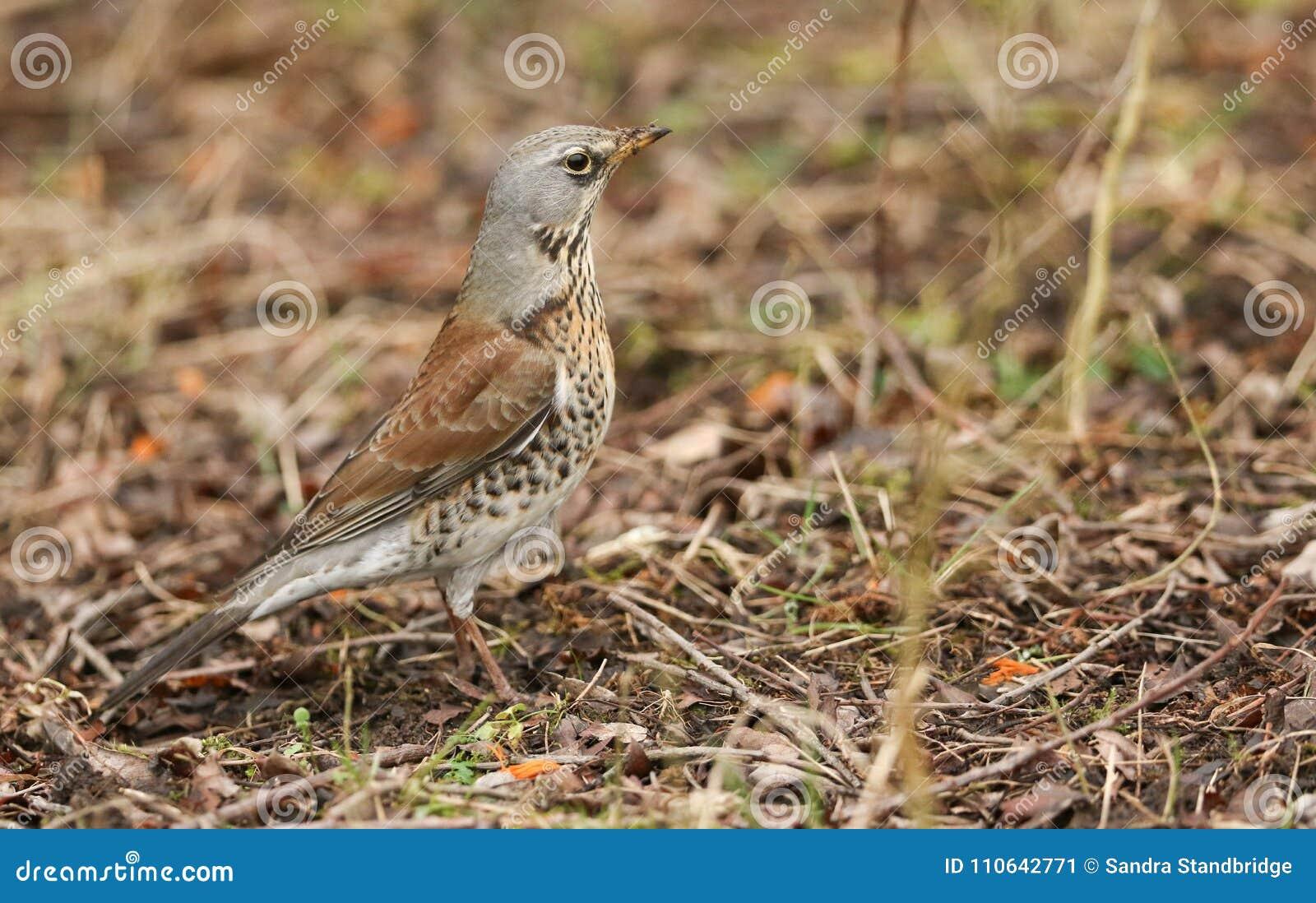 Sätta sig bedöva pilaris för en FieldfareTurdus på jordningen Det har jagat för att daggmaskar ska äta