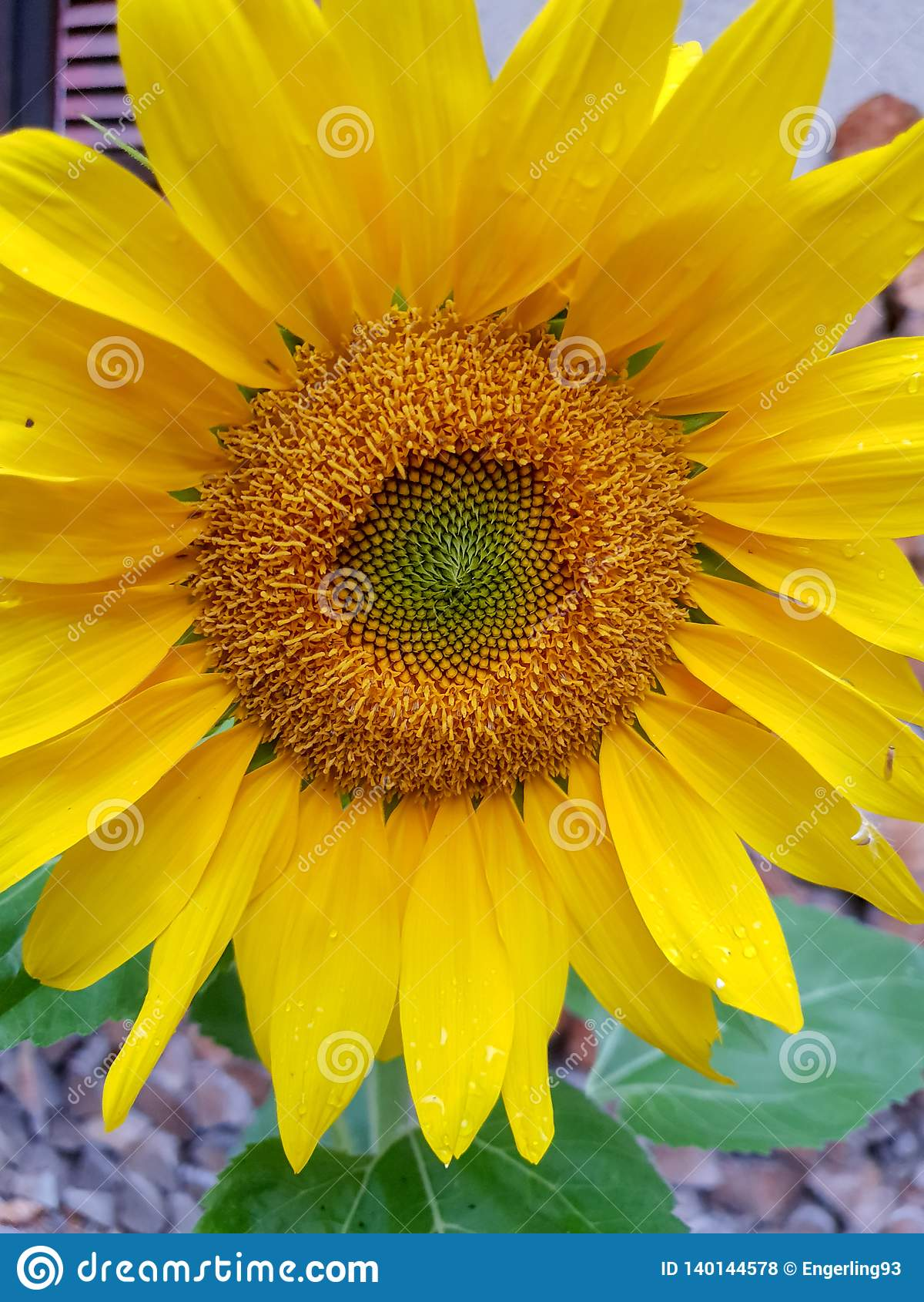 Słonecznik, blisko