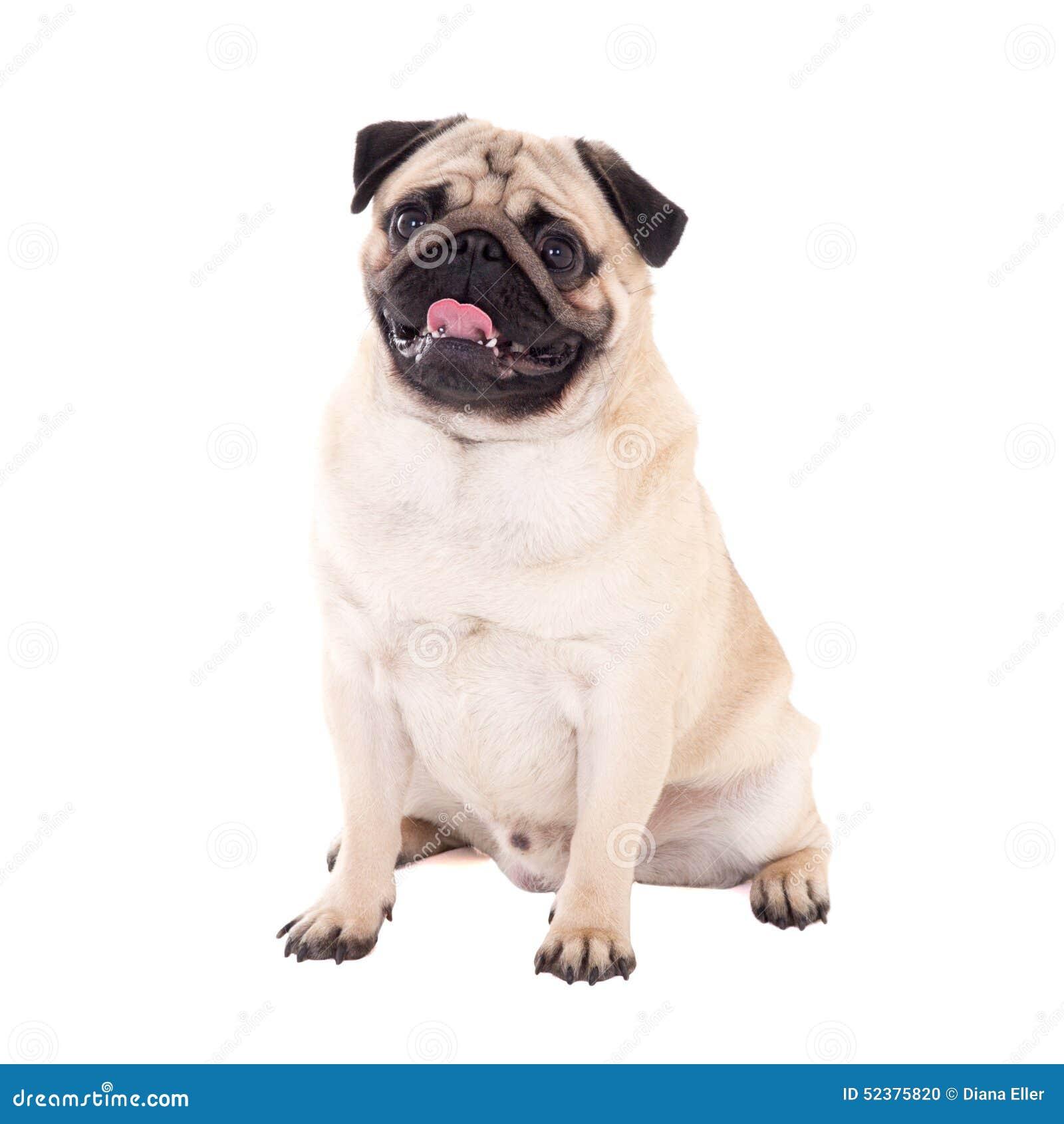 Séance amicale de chien de roquet d isolement sur le blanc