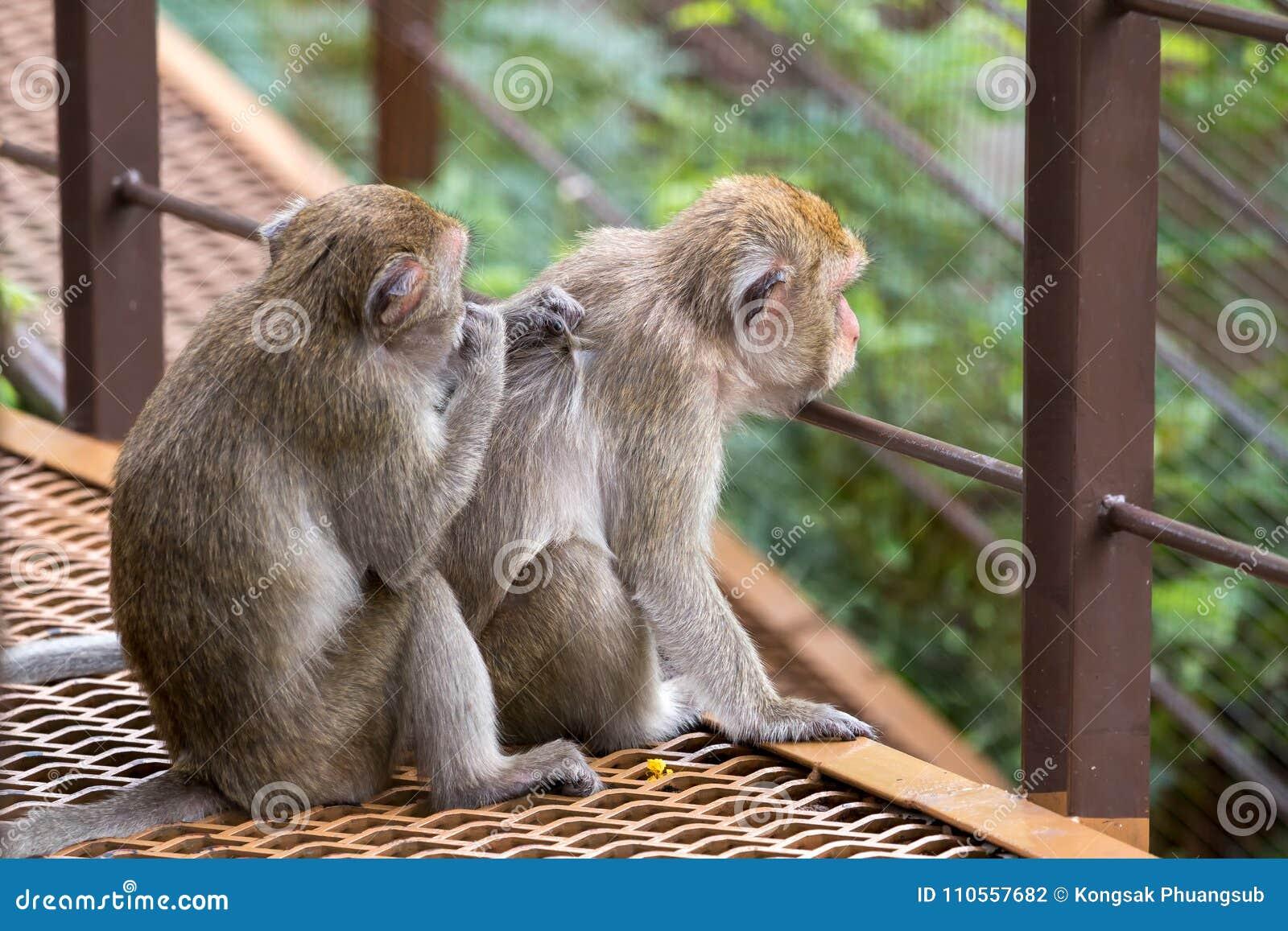 Séance de deux singes et une puce de conclusion