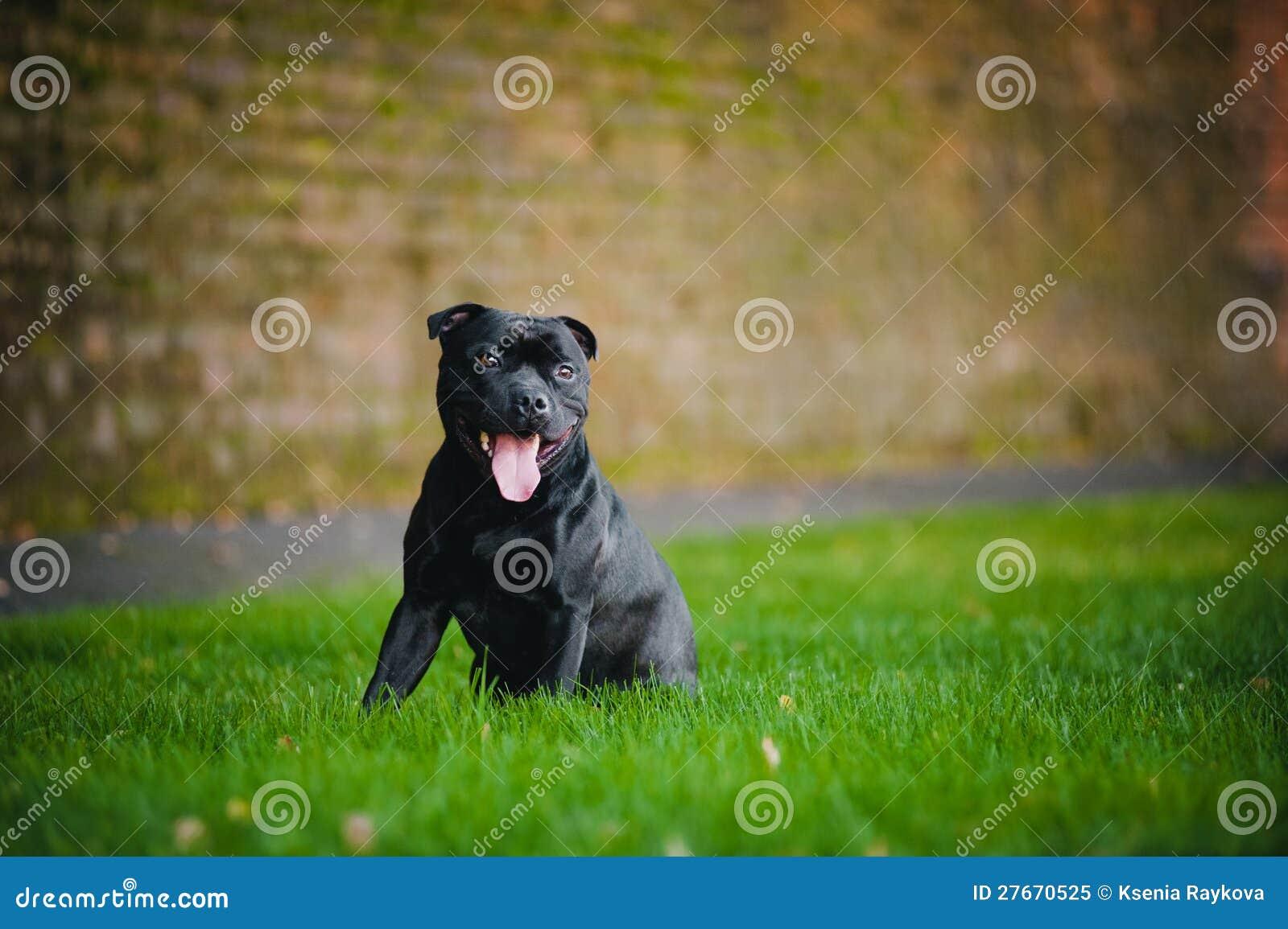 Séance heureuse de chien terrier de crabot