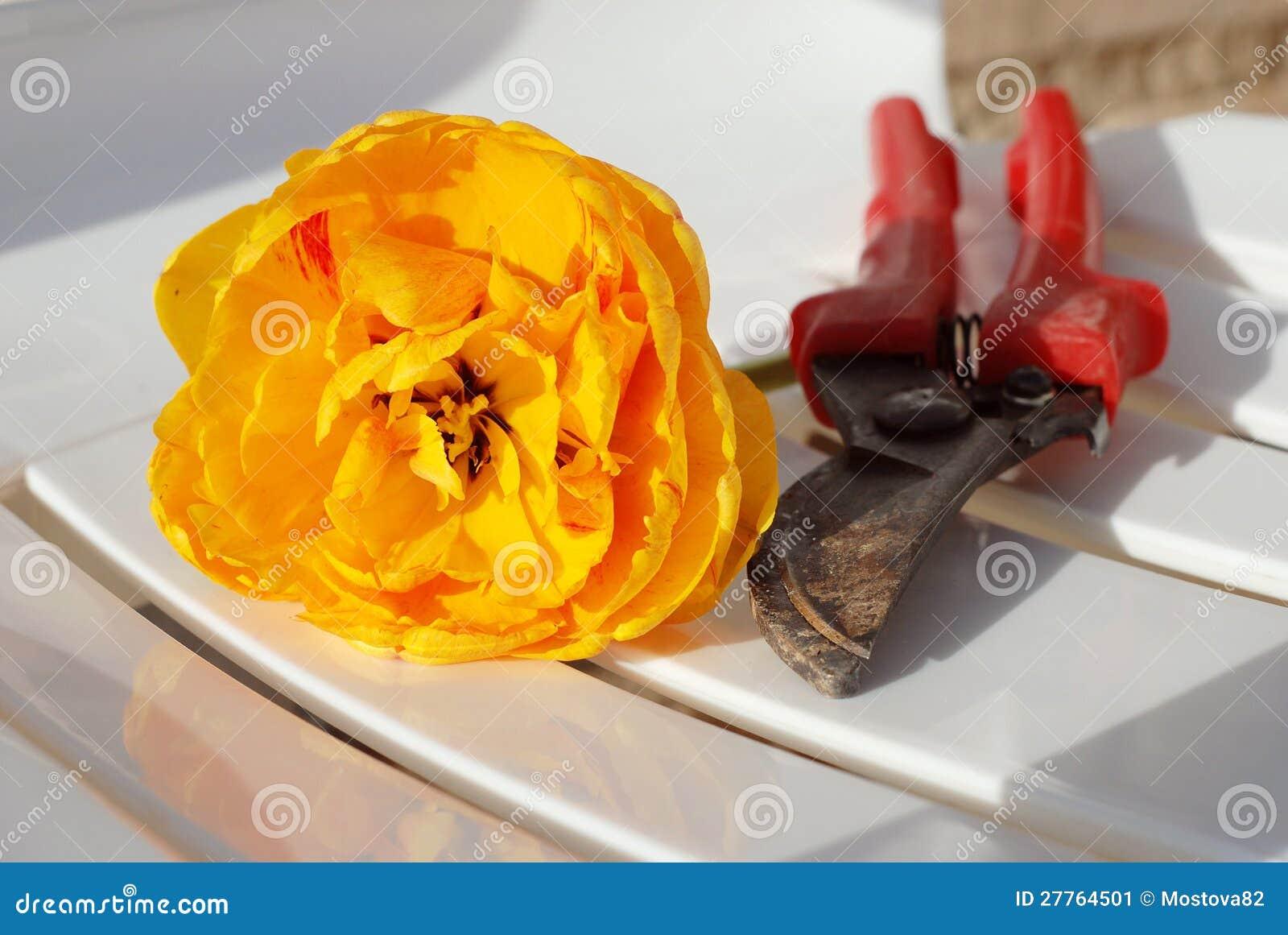Sécateurs et tulipe d orange de coupure