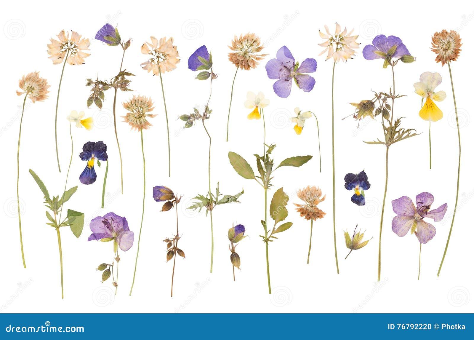 Séchez les fleurs sauvages pressées d isolement sur le blanc