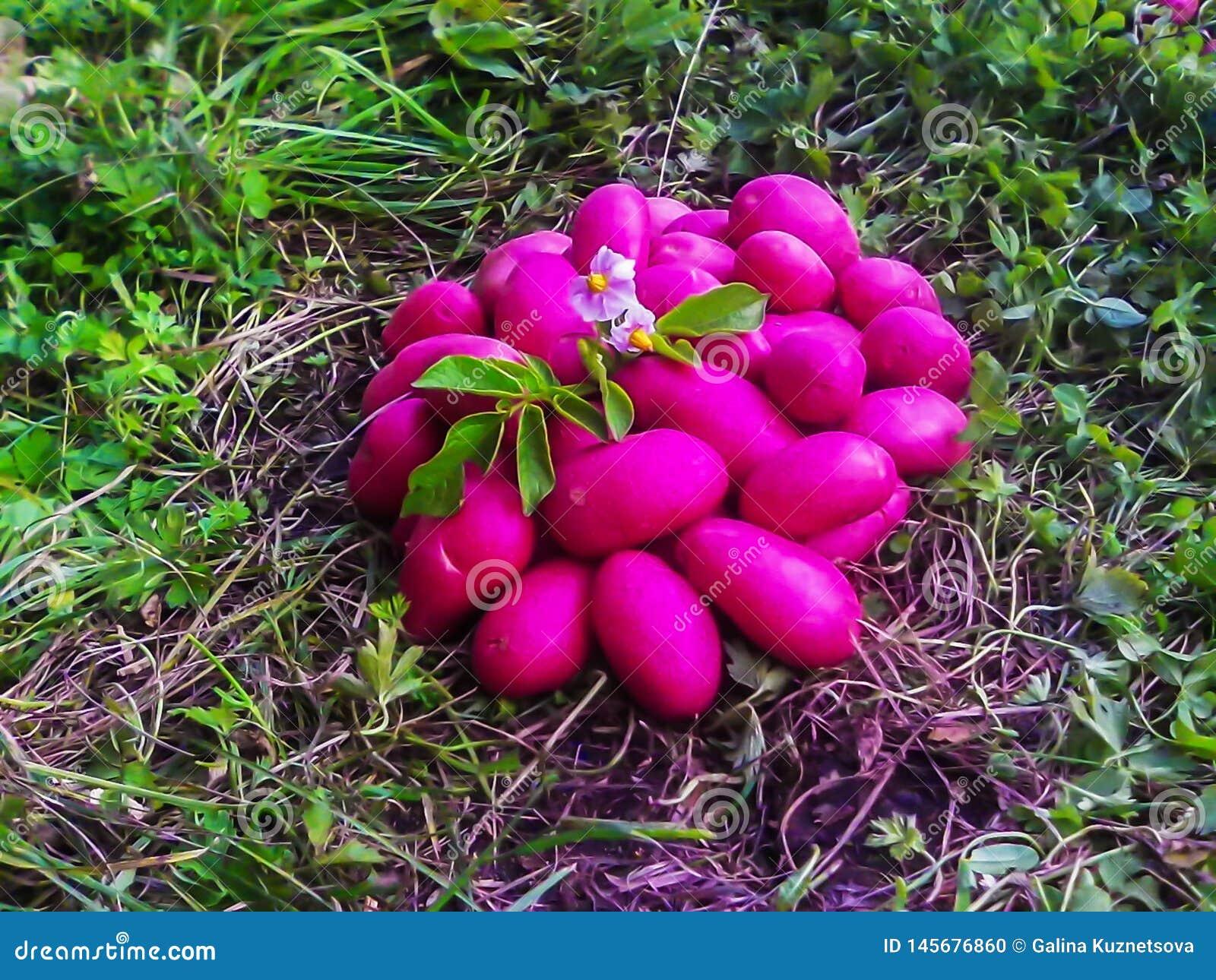 Sélection allemande de Delphine de variétés de tubercules de pomme de terre de titre