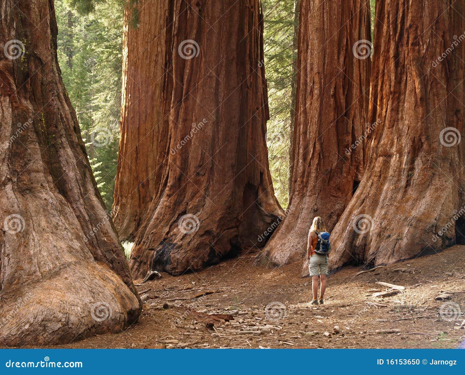 Séquoias de plantation de Mariposa